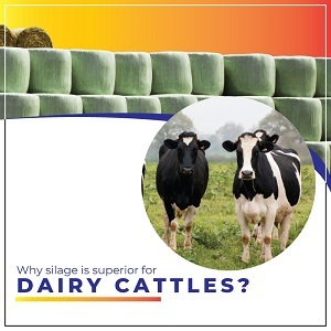 Why silage is superior for dairy cattle?